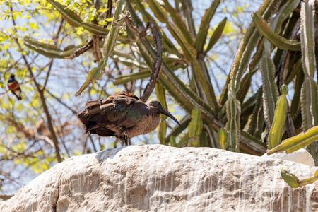 Hadada ibis called Bostrychia hagedash hiding in the brush