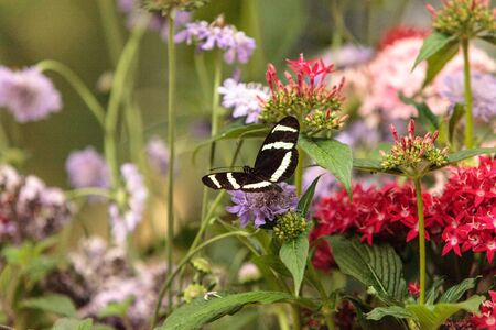 Zebra longwing butterfly, Heliconius charitonius, in a botanical garden in spring Stock Photo
