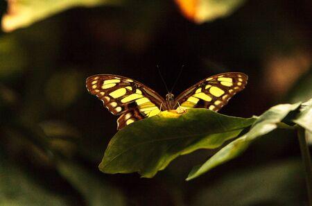 Malachite butterfly, Siproeta stelenes, in a botanical garden in spring