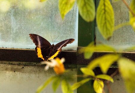 Golden birdwing butterfly, Troides aeacus, in a botanical garden in spring Imagens