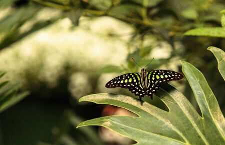 green jay: Green and black wings of Tailed Jay butterfly, Graphium Agamemnon, in a botanical garden in spring Foto de archivo
