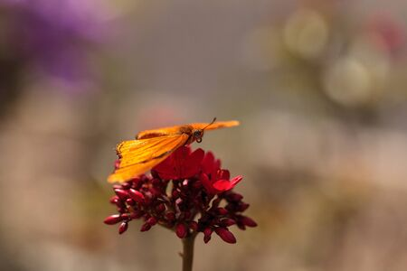 Julia Longwing butterfly, �Dryas iulia, in a botanical garden in spring