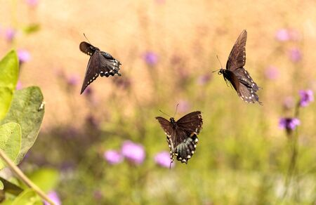 Pipevine swallowtail butterfly, Battus philenor, in a garden in spring Фото со стока