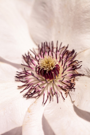 clematis: White fragrant star clematis flower with a purple center blooms on a vine in spring Stock Photo