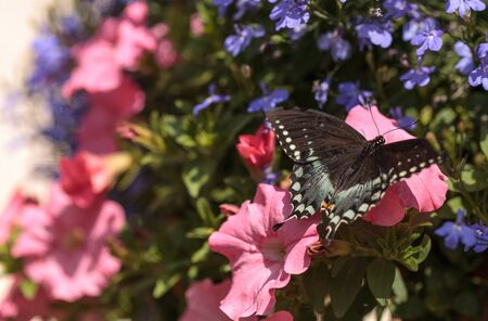 Spicebush swallowtail butterfly, Pterourus troilus, in a garden in spring Stock Photo