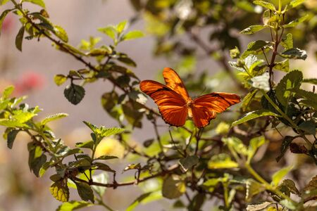 Julia Longwing butterfly, �Dryas iulia, in a botanical garden in spring