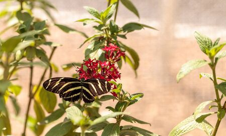 Zebra Longwing butterfly, Heliconius charithonia, in a botanical garden in spring