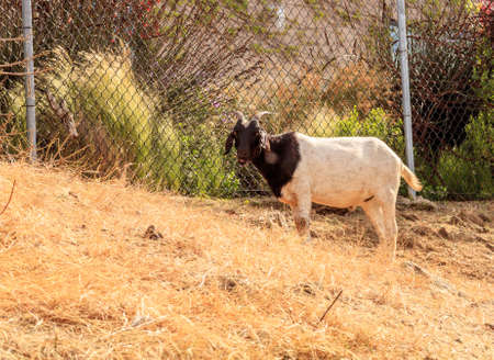 Goats eat shrubs and grass in Laguna Beach, California, as a farm of land management and avoiding wildfires.