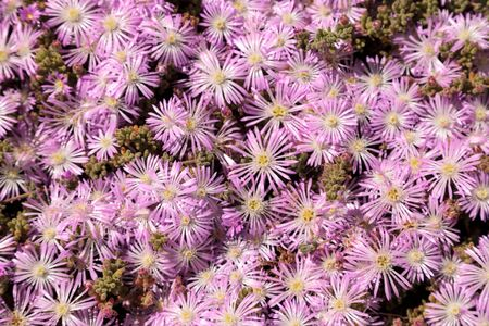 Pink flower on an Ice plant succulent, Carpobrotus edulis, creeping ground cover textured background