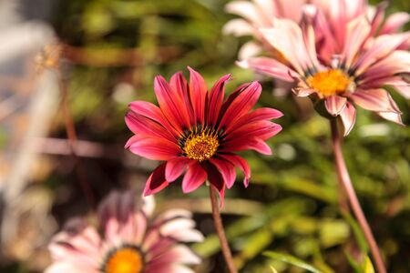 Pink African daisy, Osteospermum Ecklonis, blooms in a botanical garden in summer on a background of green leaves Stock Photo