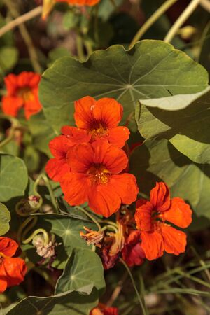 Orange Nasturtium flowers are edible and grow on a vine, covering the ground in spring.