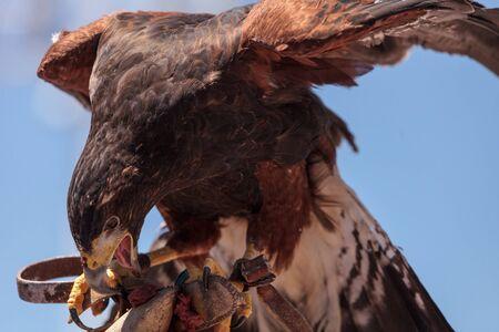 Harris Hawk Parabuteo unicinctus a bird of prey on a perch in captivity