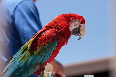 Green wing Macaw parrot bird Ara chloropterus with red, green and blue feathers 스톡 콘텐츠