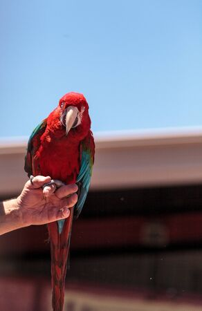 Green wing Macaw parrot bird Ara chloropterus with red, green and blue feathers Stock Photo