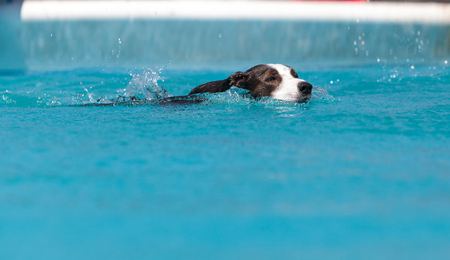Border collie swims with a toy in a pool in summer. Stock Photo