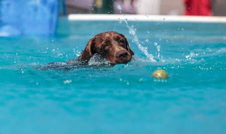 Chocolate Labrador retriever swims with a toy and plays in a pool in summer.
