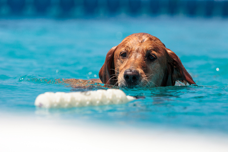 Golden retriever swims with a toy and plays in a pool in summer.