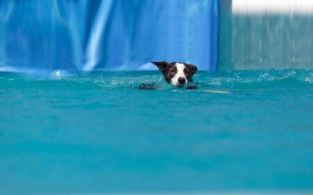 Border collie swims with a toy in a pool in summer. Stock fotó