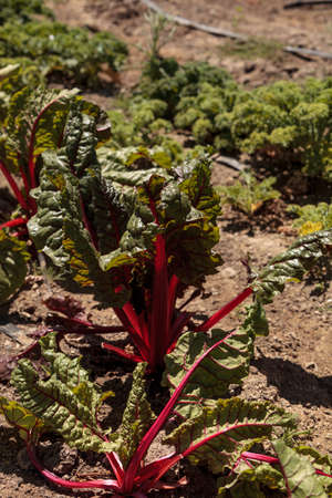 Swiss chard crops grows on a small organic farm in Southern California
