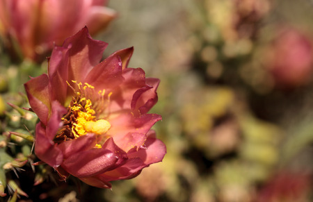 Purple flower on a ford barrel cactus, Ferocactus fordii, in a desert garden in Baja, Southern California.