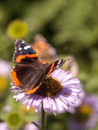 admiral: Red admiral butterfly, Vanessa atalanta, in a butterfly garden on a flower in spring in Southern California, USA