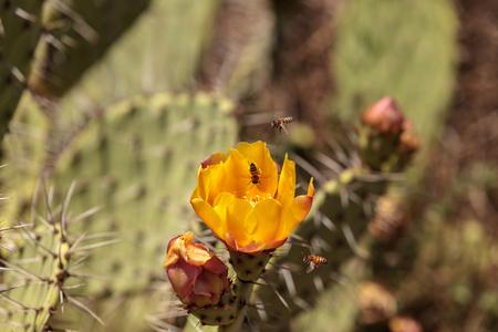 꿀벌, Api mellifera, 선인장 배 선인장, Opuntia ficus indica, 노란색 꽃에서 꽃가루를 수집 라구나 비치, 캘리포니아에서 야생 하이킹 코스 따라.
