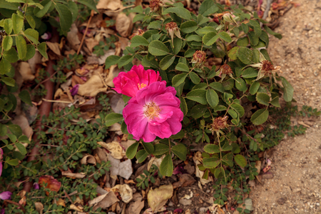 Pink heirloom rose called Duchess of Portland blooms in a botanical garden in spring