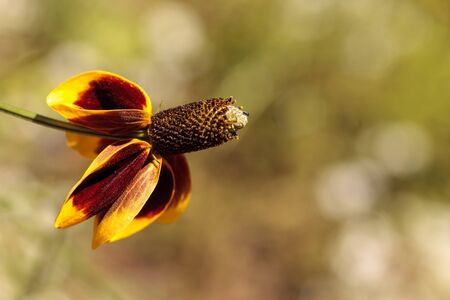 Rudbeckia yellow and red flower, Rudbeckia maxima, with a cone stamen blooms in a botanical garden spring.
