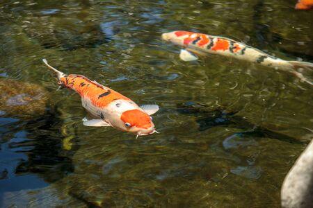 gosanke: Koi fish, Cyprinus carpio haematopterus, eating in a koi pond in Japan