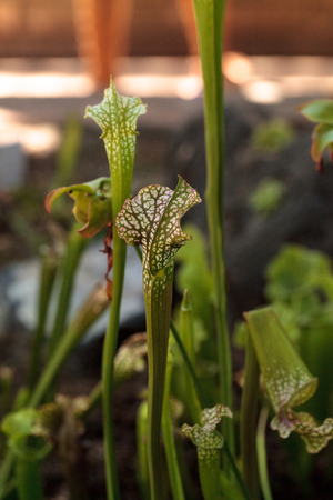 American pitcher plant, Sarracenia, is a carnivorous plant that grows in the southeast United States. Imagens