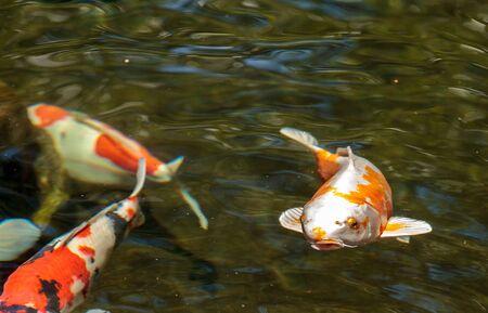 sanshoku: Koi fish, Cyprinus carpio haematopterus, eating in a koi pond in Japan