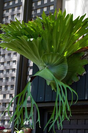 staghorn fern: Staghorn fern called Platycerium superbum grows tall and green with textured leaves Stock Photo