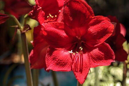 붉은 Hippeastrum 잡종 아마 릴리스 꽃은 봄에있는 식물원에 꽃을 피운다. 스톡 콘텐츠