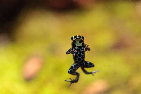 Iridescent variable poison dart frog Ranitomeya variabilis is found in the tropical rain forest of Peru