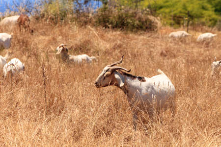 Goats cluster along a hillside with Saddleback mountains in the distance in Aliso and Wood Canyons Wilderness Park  in Laguna Beach as a means of land maintenance and eating away wild brush that could lead to wild fires. Stock Photo