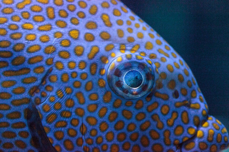 Close up of the eye of a Yellowspot rabbitfish Siganus guttatus in a coral reef.