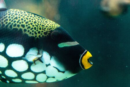 triggerfish: Clown triggerfish Balistoides conspicillum swims over a coral reef
