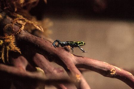variable: Iridescent variable poison dart frog Ranitomeya variabilis is found in the tropical rain forest of Peru