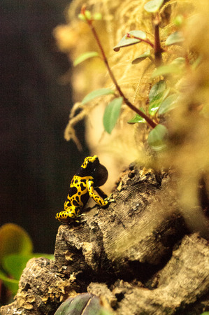 dendrobates: Bumble bee poison dart frog Dendrobates leucomelas is found in bromeliads in tropical South America