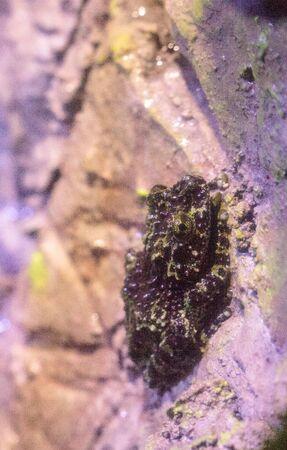 Mossy Frog Theloderma corticale wordt gevonden in Vietnam, Laos en China. Het past in zijn omgeving dankzij zijn hobbelige, groene huid.