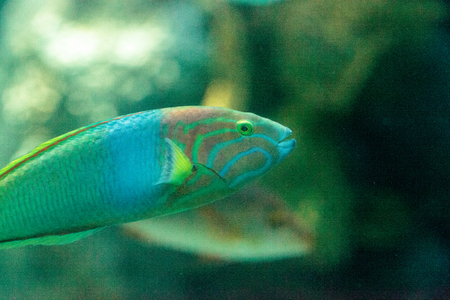 Moon wrasse fish Thalassoma lunare swims along a coral reef