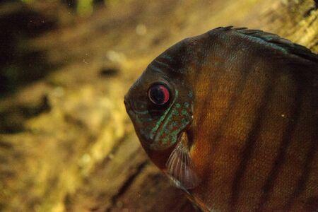 붉은 청록색 원반 던지기 Symphysodon은 또한 아마존 분지에서 발견되는 시클리드 물고기라고 불린다.