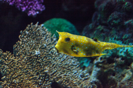 indopacific: Longhorn cowfish, Lactoria cornuta, is from the boxfish family and can be found in the Indo-Pacific. Stock Photo