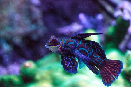 Mandarin goby is also called the Mandarin dragnet Synchiropus splandidus in a reef aquarium