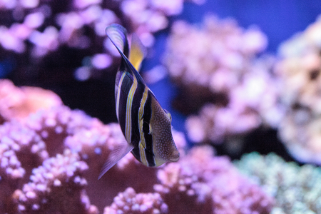 Sailfin tang Zebrasoma veliferum swims over a coral reef