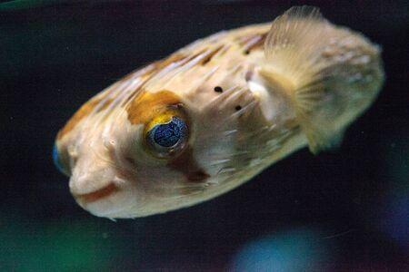 El puerco espín espinoso Diodon holocanthus tiene ojos que brillan con motas azules y piel con espinas. Este pez se puede encontrar en el Mar Rojo.