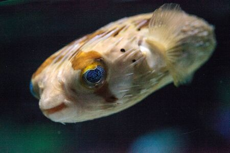 Spiny porcupinefish Diodon holocanthus has eyes that sparkle with blue flecks and skin with spines. This fish can be found in the Red Sea.