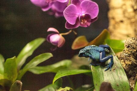 dendrobates: Blue poison dart frog Dendrobates tinctorius azureus is known by its native name okopipi and is found in Suriname and Brazil. Stock Photo