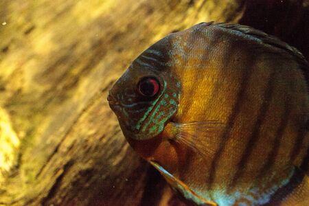 붉은 청록색 원반 던지기 Symphysodon은 또한 아마존 분지에서 발견되는 시클리드 물고기라고 불린다. 스톡 콘텐츠 - 80028940