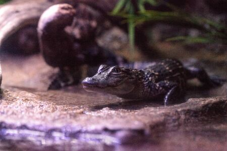swampland: Baby American alligator also called Alligator mississippiensis found in swamps and wetlands